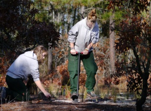 AmeriCorps volunteers plant wiregrass in a longleaf pine forest at Singletary Lake State Park.