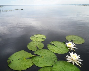 Hydrilla can crowd out native species such as these water lilies.
