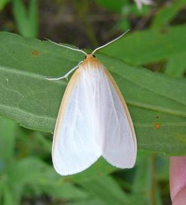 Delicate cycnia moth.