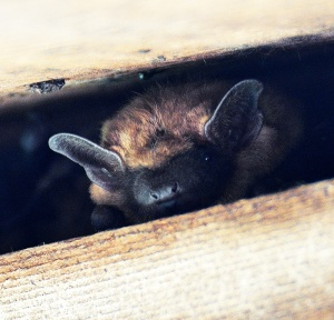 A colony of big brown bats was also observed during the survey.