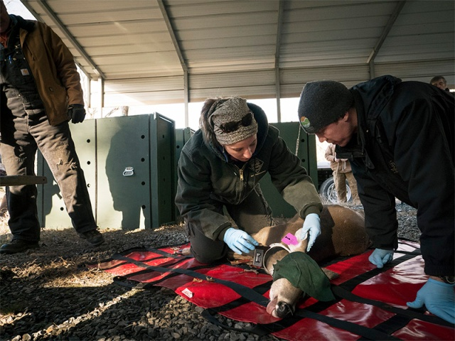 Maria Palamar, a veterinarian with the N.C. Wildlife Resources Commission, adjusts radio collar and ear tags on captured white-tailed deer.