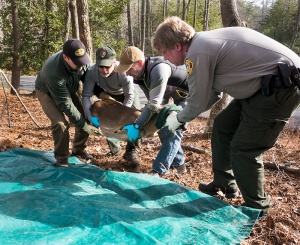 Morrow Mountain rangers and biologists move captured deer during collection process in January.