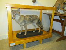 A coyote mount was added at Eno River State Park with FSP grant help.