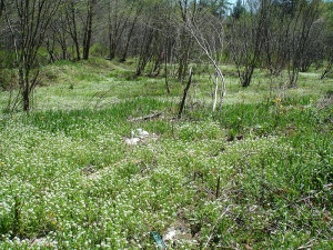 Pineola bog produces variety of plants after careful thinning process.