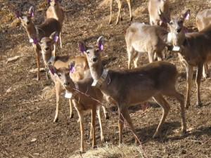 Released Deer