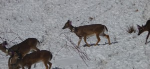 tagged deer in snow