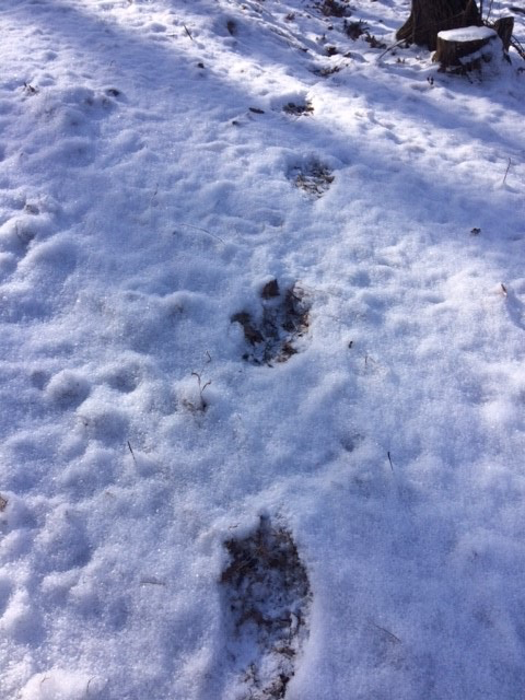 Mount Jefferson State Natural Area Bear Tracks